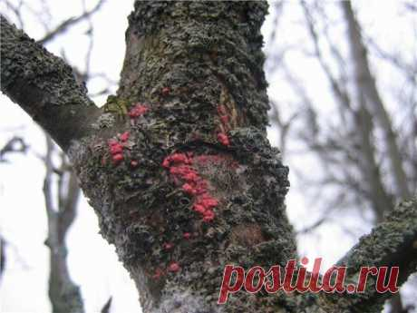 How to protect an apple-tree and a pear from diseases and wreckers?   Apple-tree, pear (Огород.ru)