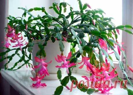 Несколько советов по уходу за декабристом для цветения и роста