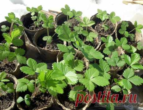Рассада клубники – как вырастить из семян в домашних условиях