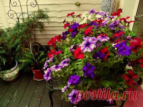 Как сохранить Петунию до весны! Мой супер способ размножения любимых сортов и расцветок | Садовый рай 🌱 | Яндекс Дзен