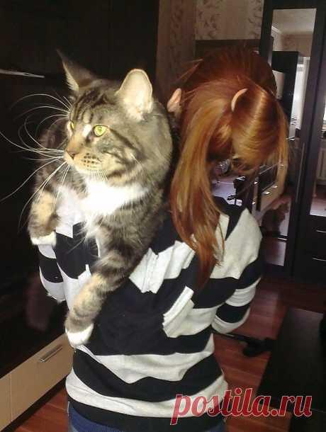 Кот мейн-кун, МАКАР, приехал к нам из Италии. Необыкновенный котик: ласковый и нежный!