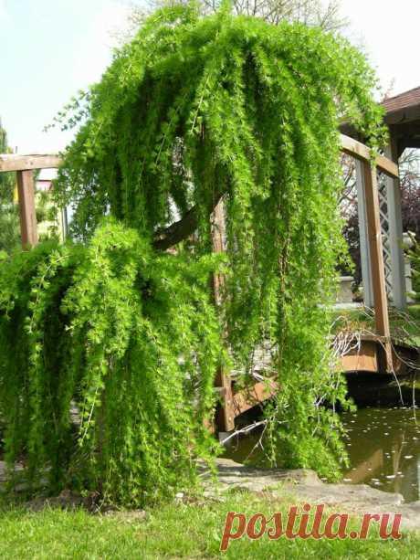 Формирование плакучей формы кроны деревьев — Огород без хлопот