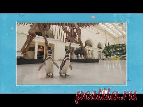 Прогулки с динозаврами: в Чикаго музей естественной истории открыли специально для пингвинов