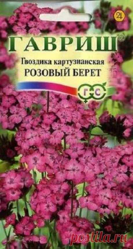 """Гвоздика картузианская """"Розовый берет"""""""