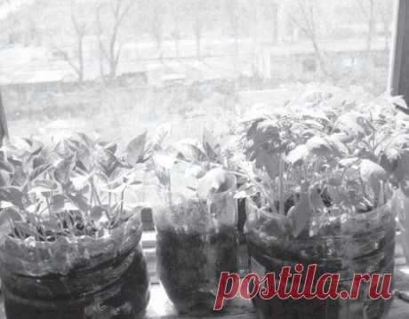 Упрощенный способ выращивания рассады: другого мне и не надо.