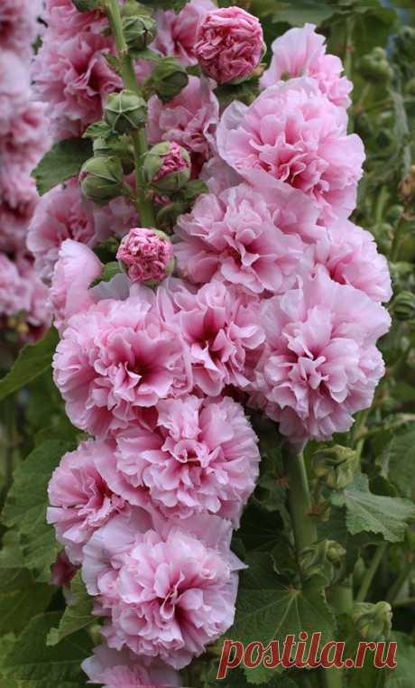 Секреты посадки цветов двулетников на клумбе | Мои Идеи Для Дачи и Сада