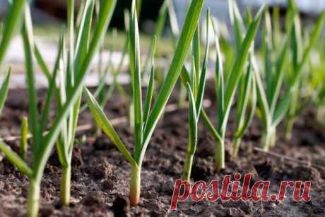 Как вырастить чеснок из семян стрелок: когда и как сажать?