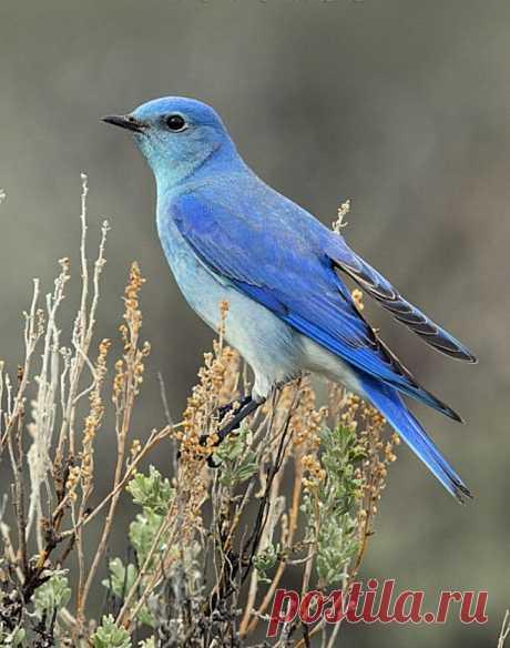 Синяя птица счастья.