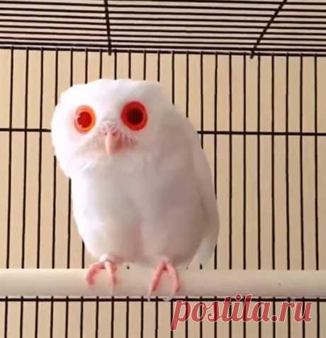 Изображение белоснежной совы с ярко-красными глазами, появившись в Сети, привлекло большое внимание: слишком уж необычно выглядит птица.