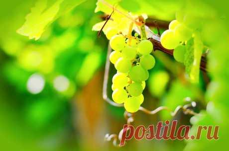Правила и секреты прищипки винограда