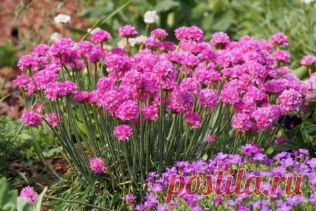 Армерия (50 фото) - виды, уход и посадка в открытом грунте Необычные шарообразные цветки армерии, так похожие на помпоны зимней шапки, на самом деле целые соцветия из маленьких бутонов. И это далеко не все, чем удивляет эффектный садовый цветок. Больше фото армерии - смотри в нашей галерее!