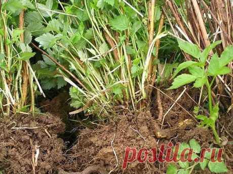 Опасные болезни малины: описание, фото, профилактика