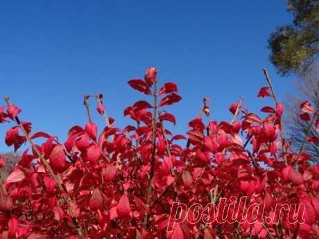Бересклет — славное растение. Посадка и уход. Виды. Фото — Ботаничка.ru
