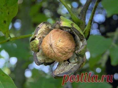 Семь орешков для женской красоты и здоровья. Грецкий орех удивительное и уникальное растение, ...