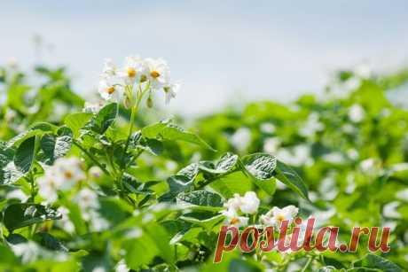 Почему надо знать, когда картофель формирует клубни — Садоводка