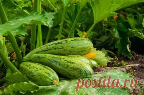 8 хитростей для большого урожая кабачков. Посадка, подкормки, полив, сбор урожая. Фото — Ботаничка.ru