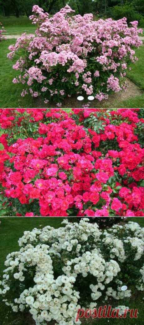 Розарий парка Багатель - Розарии - Парки и сады мира - Каталог статей - Наши цветы