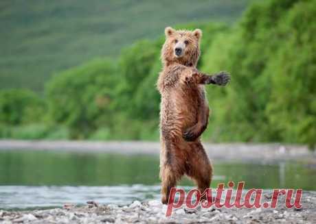 El osito baila como si y canta a nosotros: «I'm your Venus, I'm your fire, your desire …»))