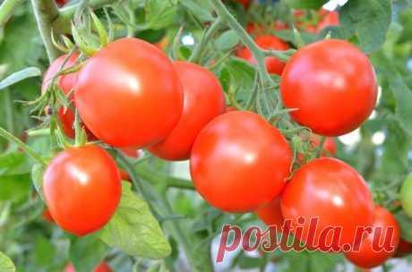 Выращивание томатов: секреты хорошего урожая помидоров