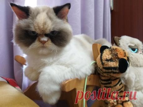 Эта кошка взорвала интернет своей злобной мордашкой (Мяу-Мяу) — 4 Лапки