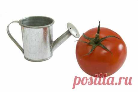 Томаты: полив и подкормка томатов