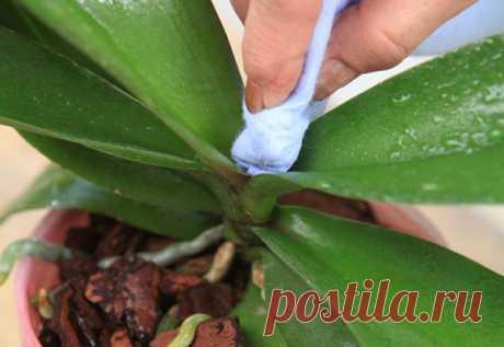 Болезни и вредители орхидей: лечение и борьба с насекомыми