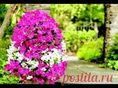 Цветной куст Петунии украсит дачный участок