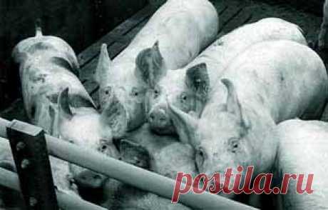 Не пора ли стать вегетарианцами — МИР ПУТЕШЕСТВИЙ Этика бойни    Кто-то сказал, что по тому, как человек относится к животным, можно судить о том, насколько он цивилизован.