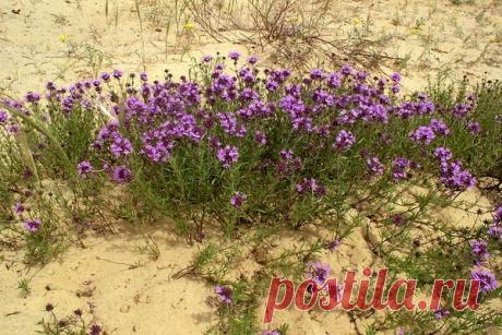 Как цветут пустыни после дождей. И какие цветы там можно увидеть | 25 соток счастья! | Яндекс Дзен