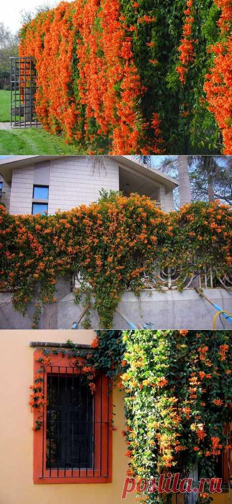 Красота огненной лианы - Пиростегия прекрасная .