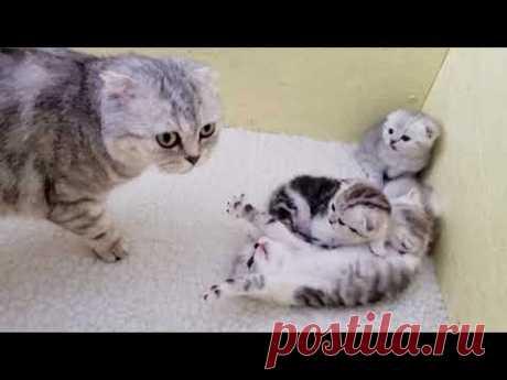 Мама кошка разбудила котят чтобы накормить молоком Мяу Мяу