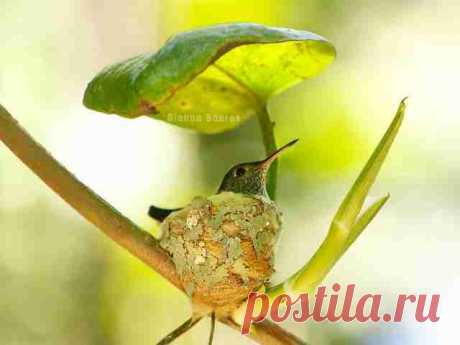 Clever Little Hummingbird Builds A Home With A Roof - The Dodo
