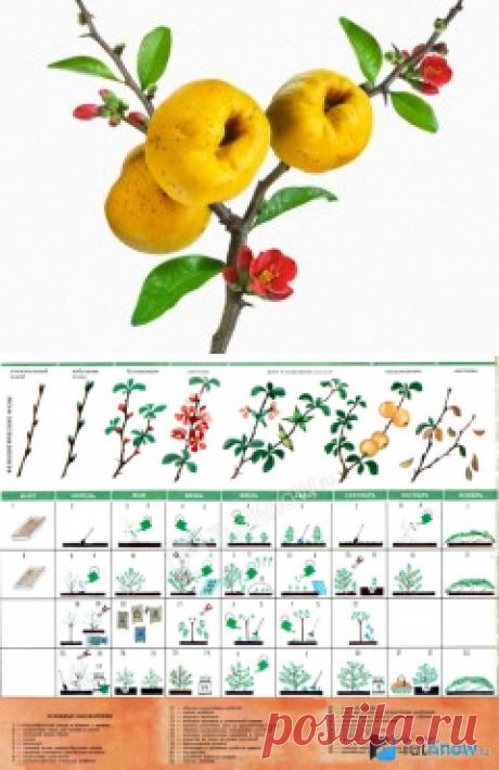 Айва японская: выращивание и уход