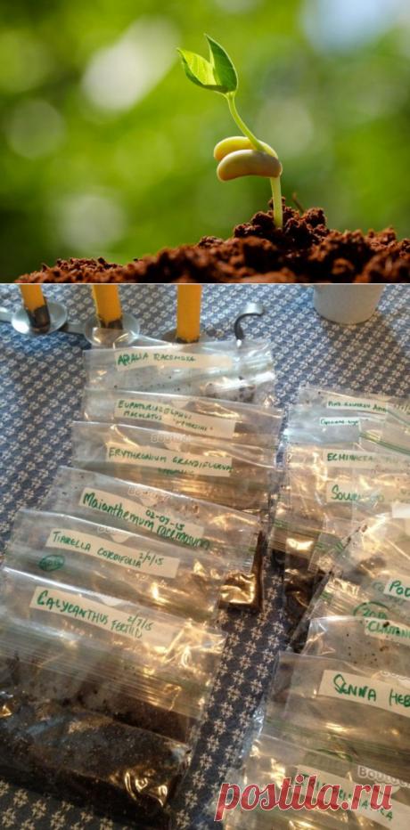 Стратификация семян в домашних условиях. Способы, температура, сроки - Ботаничка.ru