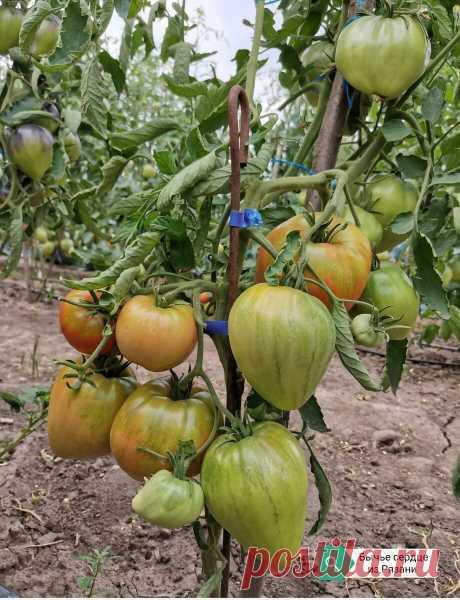 Сорт томата, который так сильно любят мои дети.   Огородник из Рязани   Яндекс Дзен
