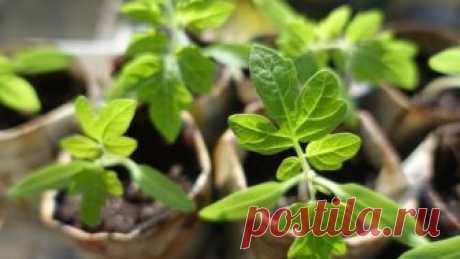 Выращивание рассады томата, перца и баклажана