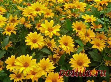 5 многолетников с желтыми цветами для вашего сада: фото Русский фермер