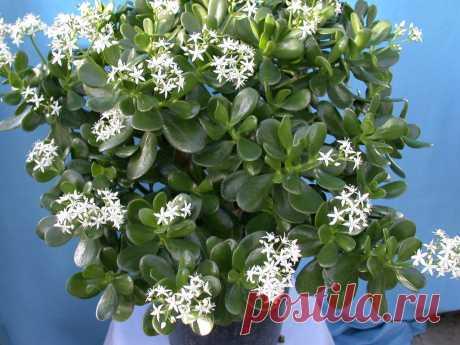 Где должно стоять Денежное Дерево в квартире, чтобы растение быстро росло и Красиво цвело | 6 соток