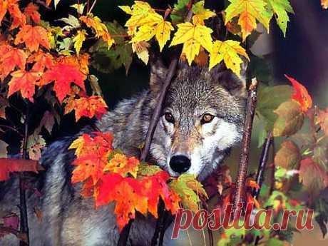 Волк среди осенних листьев