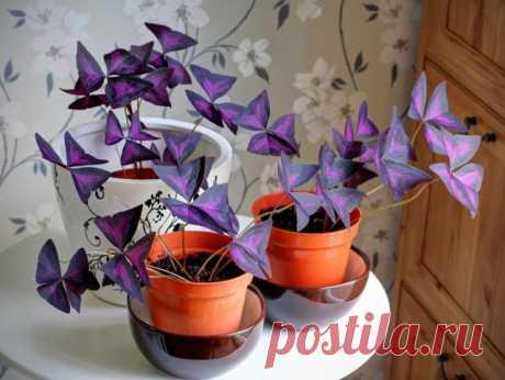 Почему не цветёт кислица треугольная? Уход в домашних условиях. Фото — Ботаничка.ru