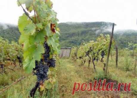 Посадка винограда осенью: как и когда лучше сажать в грунт саженцы Осенняя посадка винограда – дело не очень сложное. Но здесь есть несколько важных нюансов, которые нужно учесть, чтобы растение хорошо развивалось и начало плодоносить уже спустя 3 года. Виноград можн...
