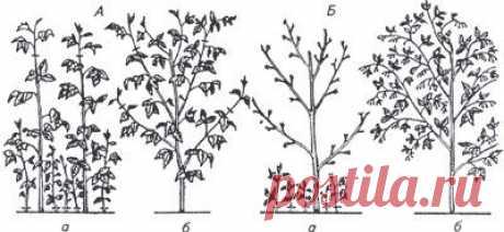 Как Сергеенко малину выращивают по методу Соболева   Виктор Сергеенко опробовал метод Соболева по выращиванию малины, который заключается в двойной обрезке.   Соболев Александр Георгиевич – известний садовод из Кургана и подписчик нашей группы. Показать полностью…