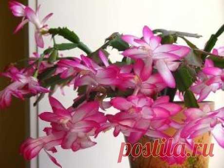Декабристы. Особенности ухода Декабристы прекрасные «европейские» кактусы, известны по ботанической классификации как Шлюмбергия или Зигокактус. А в народе комнатный цветок часто называют Рождественский кактус. Декабрист - еще называют Лесной кактус, который в природе растет исключительно на питательной почве, поэтому дома его тоже надо сажать в питательную, рыхлую почву, несмотря на то, что сажать будем кактус. Для этого растения не нужен большой горшок, достаточно 1 л. Г...
