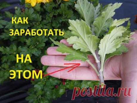 Размножение Хризантемы Круглый Год.