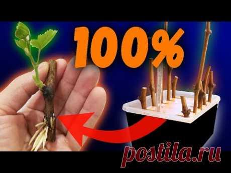 Надёжный и простой способ проращивания черенков.