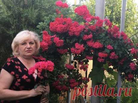 Роза - корнесобственная или привитая .
