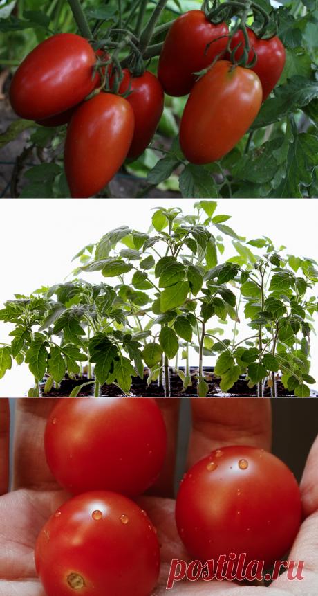 Ранние сорта томатов обеспечат свежие салаты в начале лета