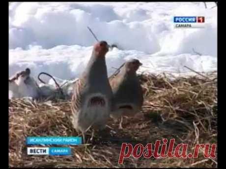 Фермеры Исаклинского района решили одомашнить диких куропаток