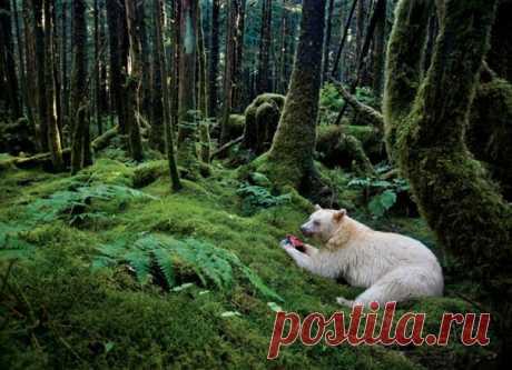 Немногим повезло встретить муксгмола – медведя-призрака со светлой шкурой. Счастливчики, видевшие его в американских лесах, предпочитают держать это в тайне: только так можно защитить этого редкого зверя.