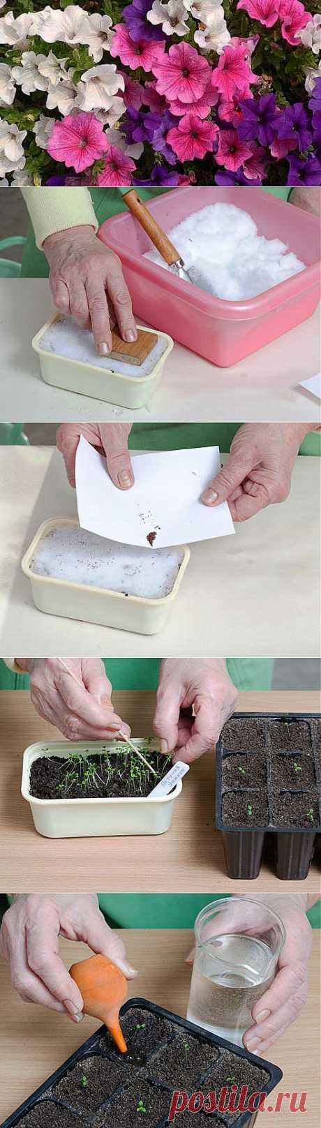 Петуния. (Выращивание рассады. Посев семян по снегу) | ЖЕНСКИЙ МИР